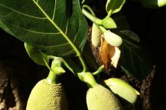 Плод хлебного дерева.