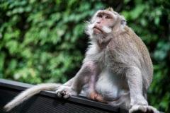 Житель леса обезьян в Убуде. Остров Бали. Индонезия.