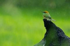 Птица дикой природа Шри Ланки.