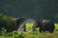 Дикая природа Шри Ланки. Слоны едят траву.